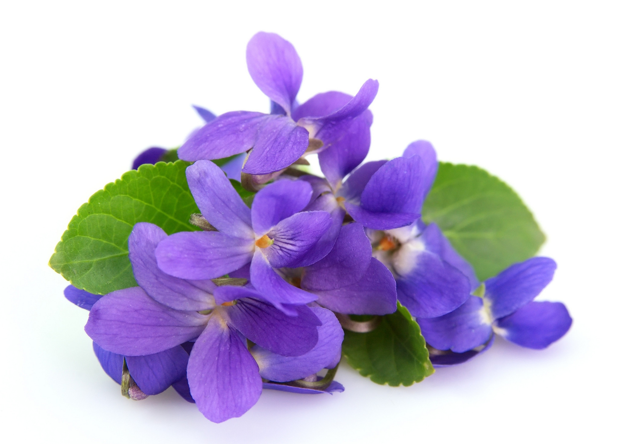 Violet Fragrance Oil | Moksha Lifestyle Products